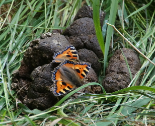 Small Tortoiseshell butterflies on dog turd