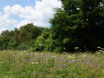 Meadow Cranesbill & Hogweed