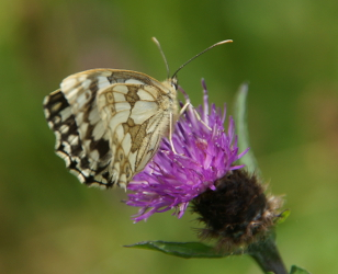 Marbled White on Black Knapweed