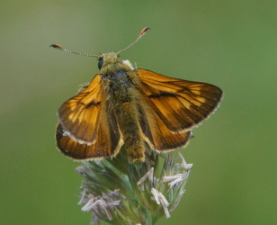 Male Large Skipper
