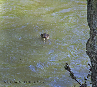 Otter on the Evenlode in May 2012