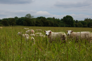 Sheep with lambs on Glyme Farm