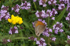 Meadow Brown Butterfly feeding on Wild Thyme