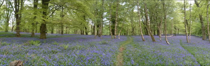 Bluebells in Knight's Copse