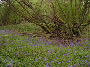 Bluebells at North Leigh Common