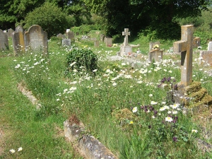 Oxeye daisies in the Town Cemetery